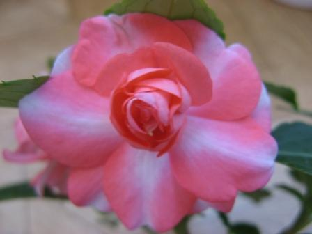 http://fuchsia-pelargonium.narod.ru/photo185.jpg