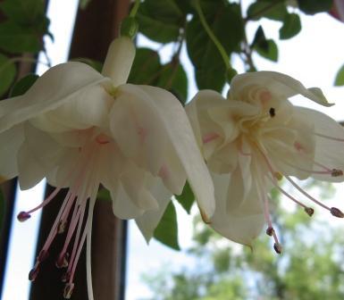 Fuchsia Sorten Foto