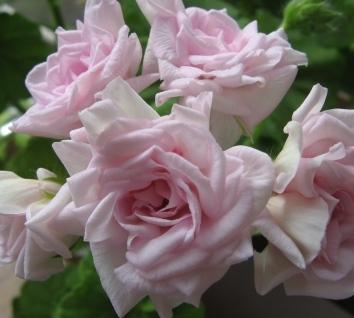 http://fuchsia-pelargonium.narod.ru/photo974.jpg